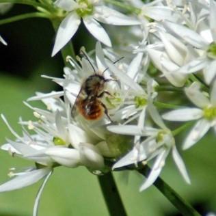 Fairy Glen-Red Mason Bee