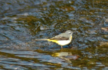 Grey Wagtail - the female of a pair