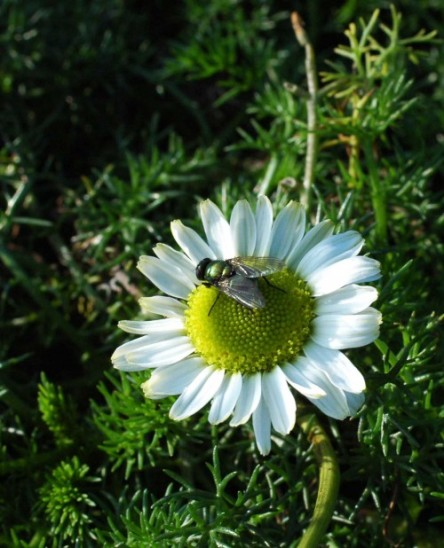 A green-bottle fly on Sea Mayweed flower