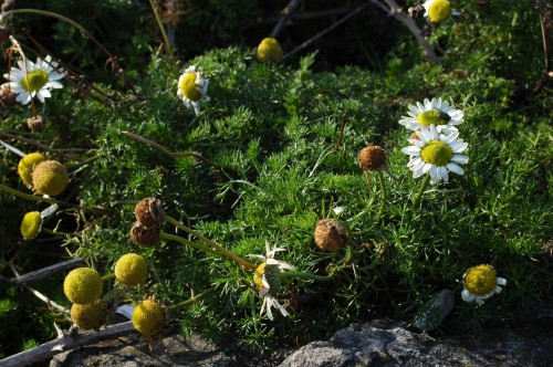Clump of flowering Sea Mayweed
