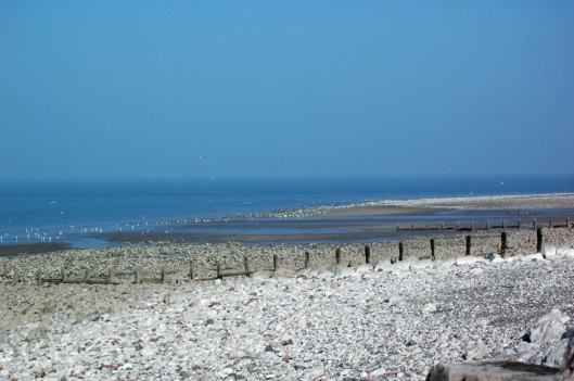 A view of the shore lined with herring gulls