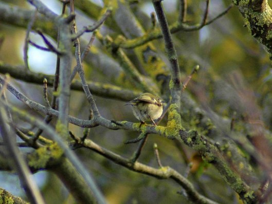 A rear view of one of a pair of goldcrest