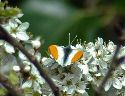 Orange Tip- Anthocharis cardamines