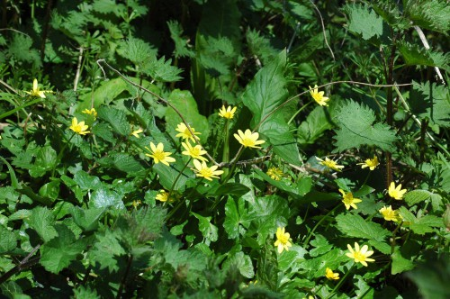 Vegetation on woodland edge-celandines, nettles & arum