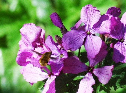 An escaped garden plant attracting a bee-fly