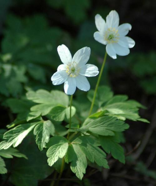 Wood anemone-Anemone nemorosa