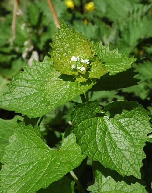 Garlic Mustard - Alliaria petiolata