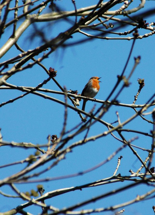 Robin singing from high in an ash tree