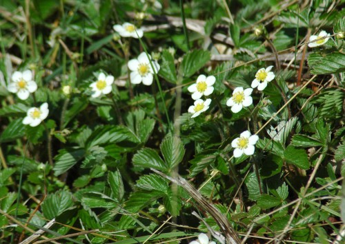 Wild Strawberry plant in flower