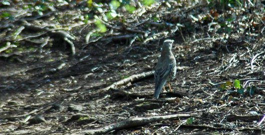 Unmistakably a Mistle Thrush