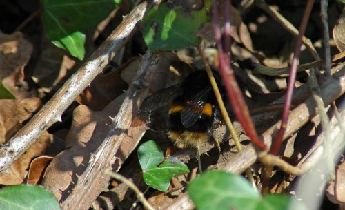 Buff-tailed bumblebee queen on the ground
