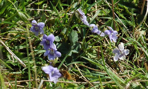 Common Dog Violet- Viola riviniana