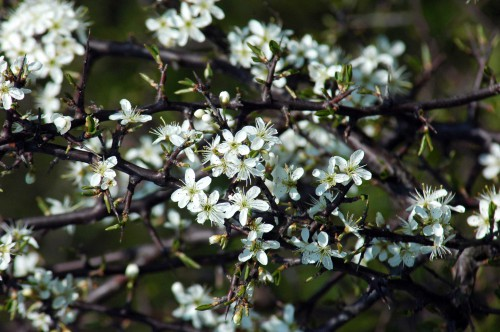 Blackthorn-Prunus spinosa