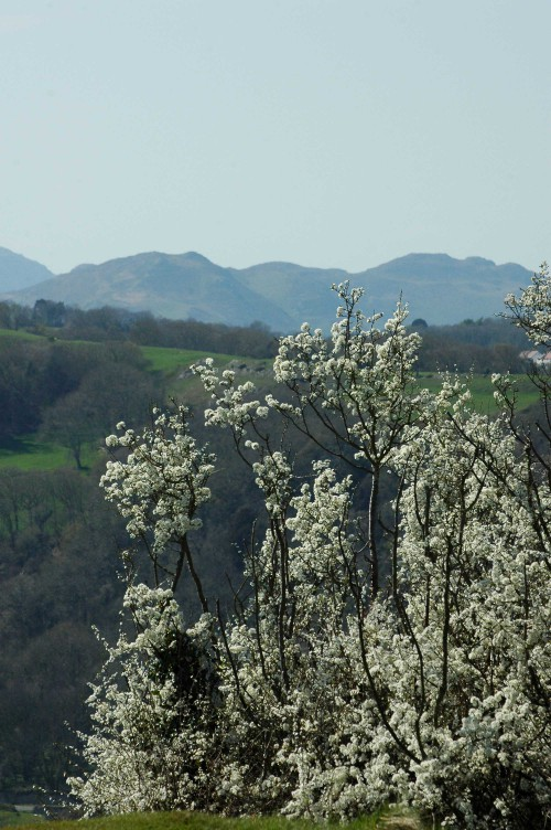 Blackthorn with a view