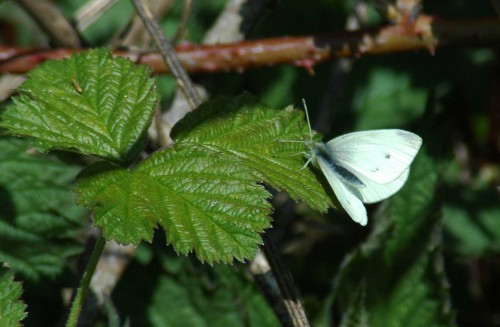 Small White (f) on bramble leaf