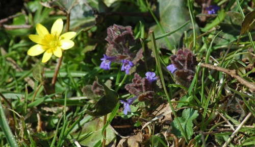 Ground Ivy-Glechoma hederacea