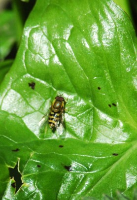 Hoverfly-Eupeodes latifasciatus