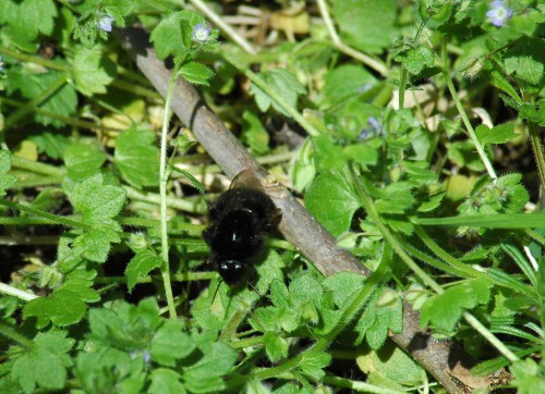 Red-tailed Bumblebee queen emerging from a patch of ivy-leaved speedwell