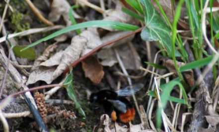 Red-tailed bumblebee queen with full pollen baskets