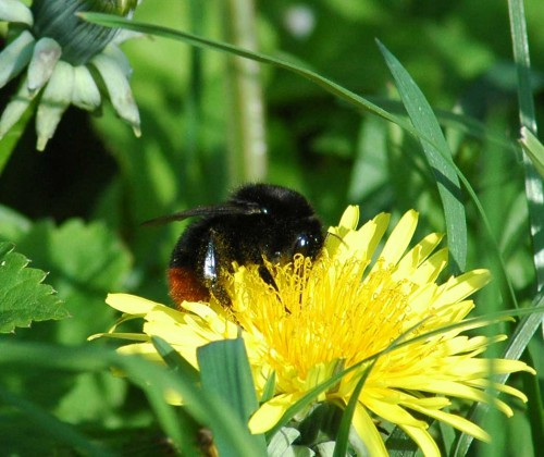24/4/15-Red-tailed worker bee on dandelion