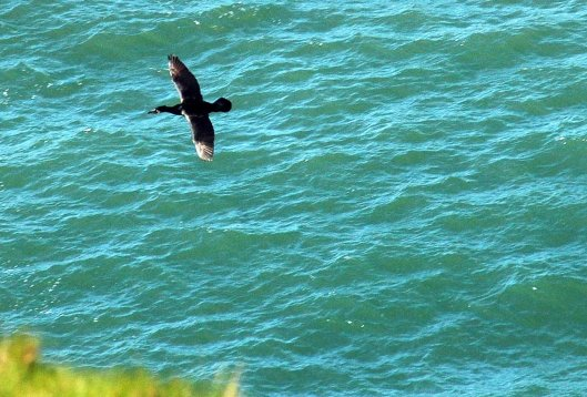 Cormorant flying past cliff