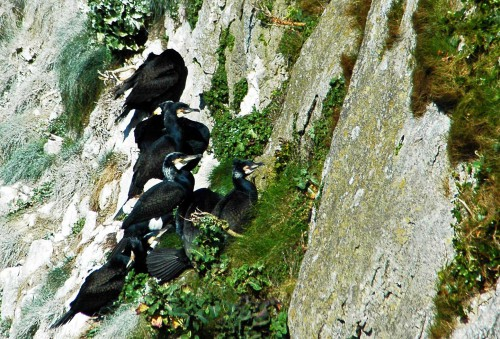 Cormorants sitting against the cliff with backs to the sea
