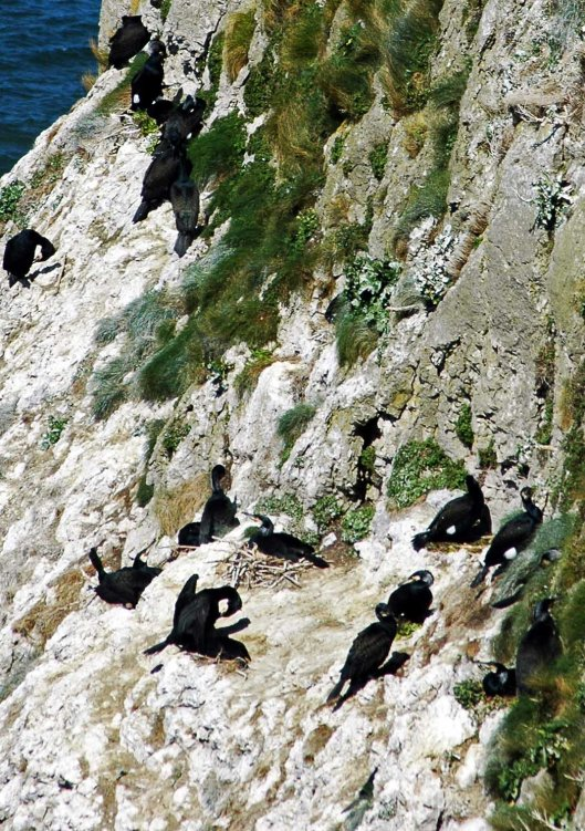 A few birds wwere sitting on nests while others, probably males, sat with their backs to the sea