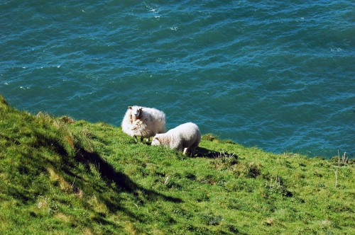 A ewe with her lamb on the slope of the cliff edge