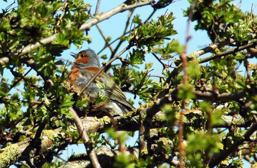 Male Chaffinch singing and preening
