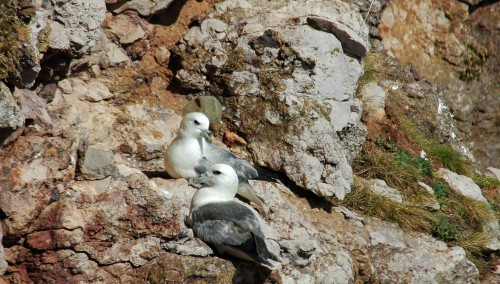 Fulmar pair sitting on cliff edge