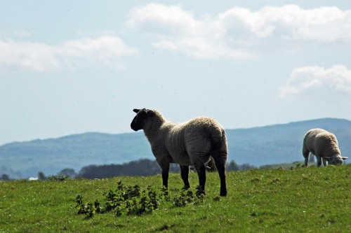A sheep pauses from grazing in the enclosed field to admire the view