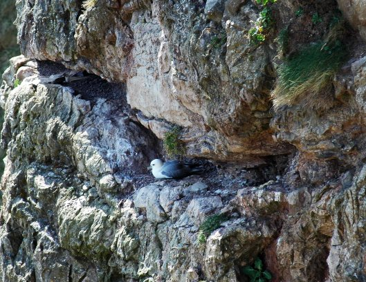 Fulmar nest on cliff nearer the sea