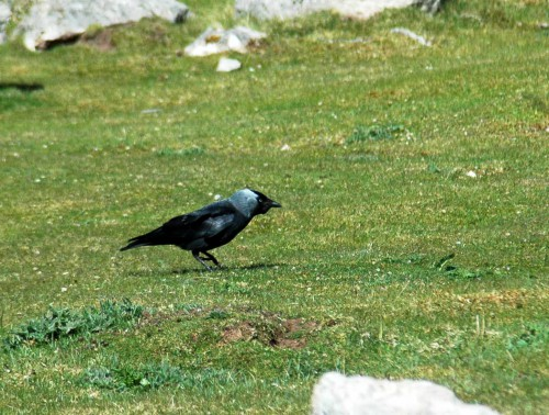 Jackdaw foraging at the base of the cliff