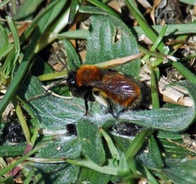 Tawny Mining Bee on the ground