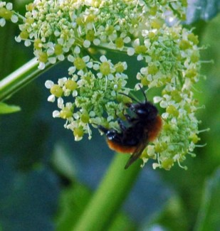 28/4/15- Tawny Mining Bee on Alexanders -Little Orme