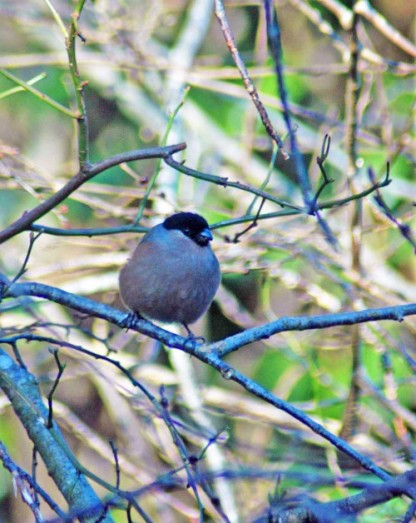 The female Bullfinch has a pink-buff coloured breast