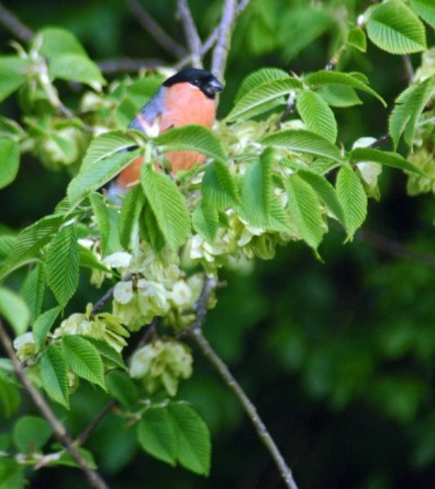 13/5/15-Male Bullfinch