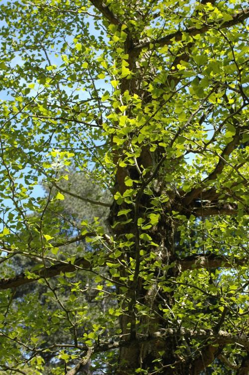 A Ginko Biloba tree