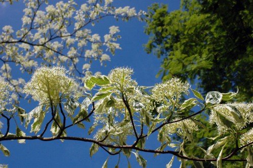 Blossom of a gorgeous   Wedding Cake Tree-Cornus controversa 'Variegata'