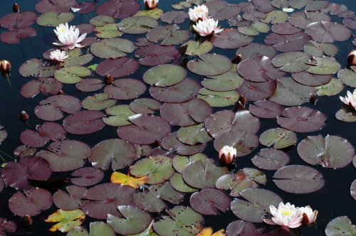water lilies in the formal pools of the terrace gardens