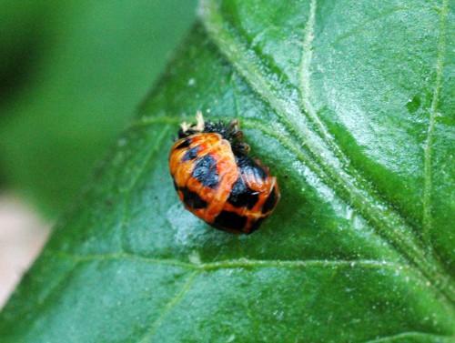 An emerging Harlequin ladybird