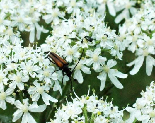 Longhorn beetle-Stenurella melanura - Stenurella melanura
