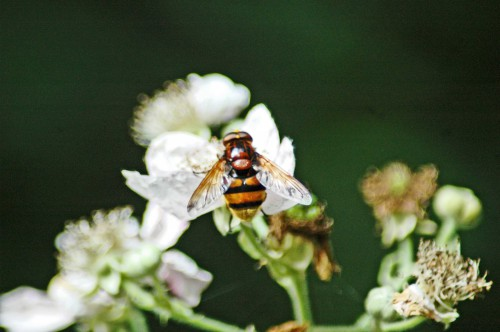 A gorgeous Volucella zonaria