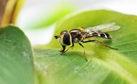 12/7/15- Pied Hoverfly- Scaeva pyrastri