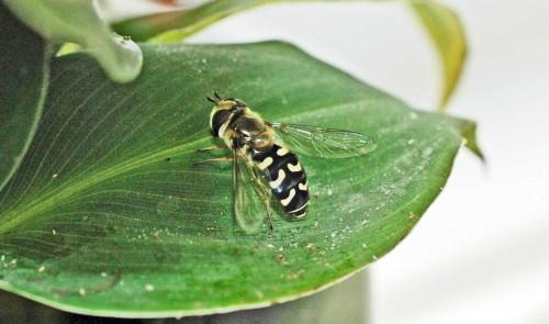 12/7/15-Pied Hoverfly-Scaeva pyrastri