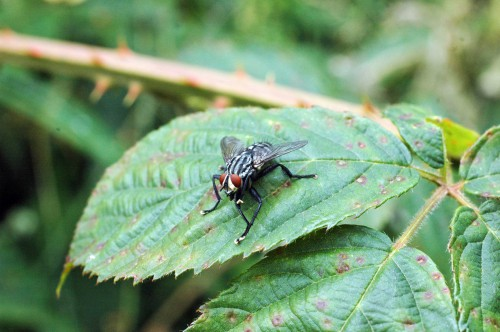 Flesh-eating fly-Sarcophoga carnaria