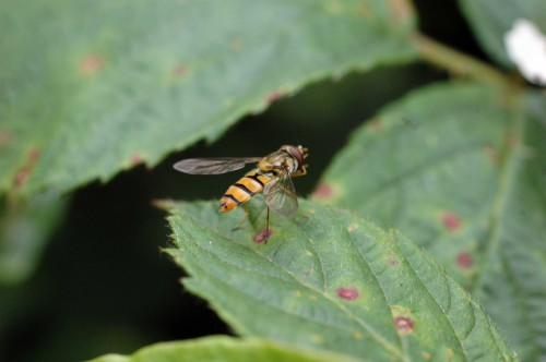 A tiny Marmalade fly-Episyrphus balteatus, probably our most common hoverfly