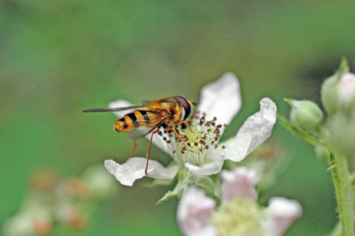 A Syrphus sp hoverfly-Syrphus ribesii - one of the most common species