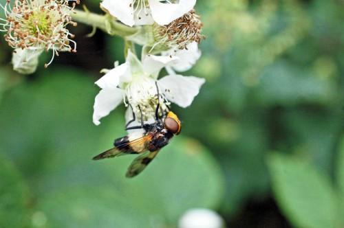 150712TG-Bryn Euryn-hvfly-Volucella pellucens (7)