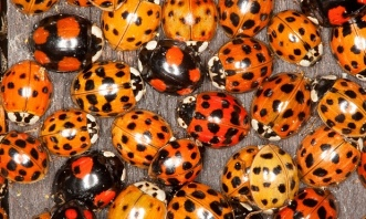 Harlequin ladybirds (image from the Guardian)